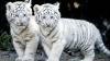 Patru pui de tigru bengalez vor fi prezentați publicului de un centru zoologic din El Salvador