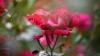 Culorile trandafirilor și semnificația lor. Atenţie la cei pe care îi vei dărui de Valentine's Day