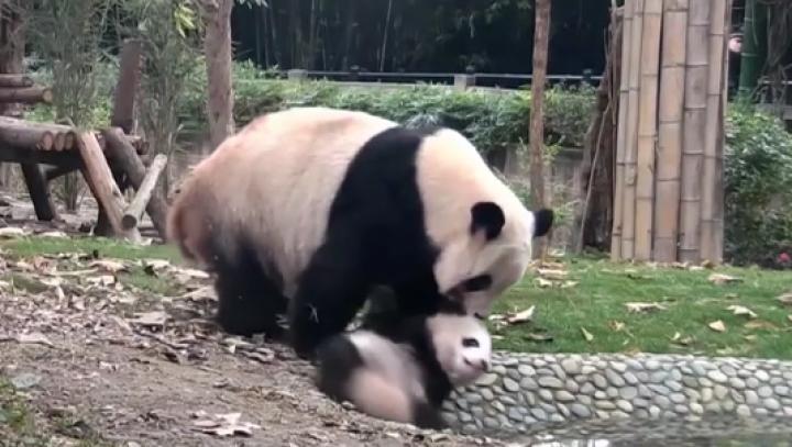 Scenă amuzantă. O femelă panda se chinuie să-şi scalde puiul căruia nu-i place baia