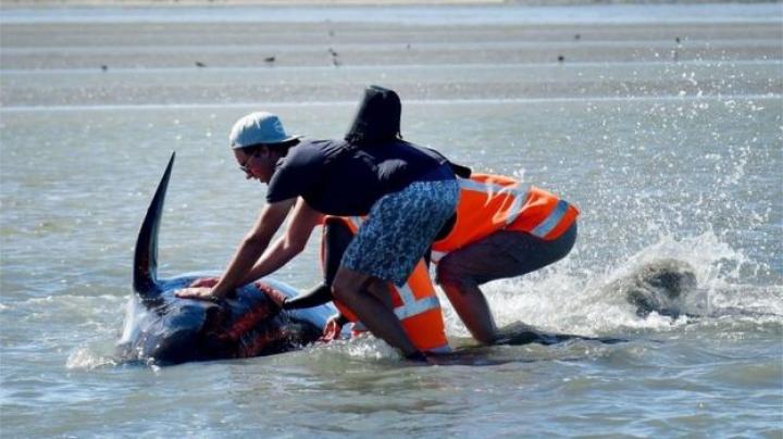 Noua Zeelandă: Sute de balene pilot au revenit în larg cu ajutorul voluntarilor