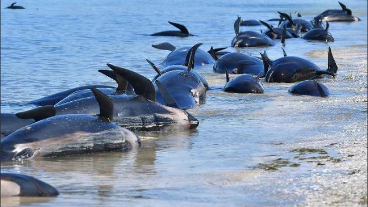 ÎNGROZITOR! Care ar putea fi cauza eșuării balenelor în Noua Zeelandă