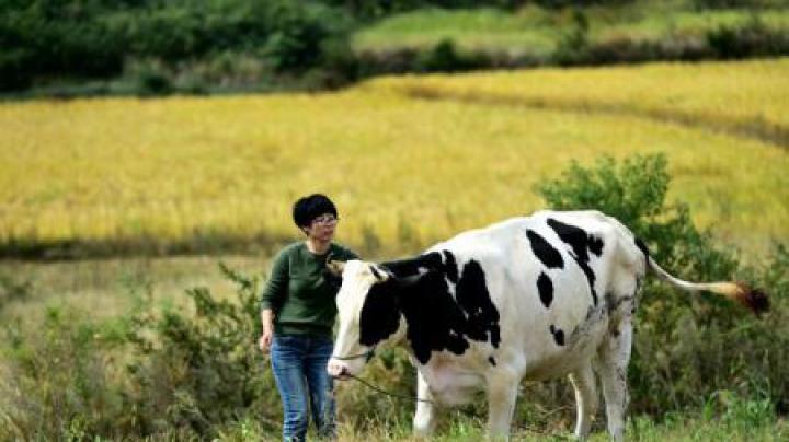 O echipă de cercetători chinezi a anunțat obținerea unor vaci rezistente la tuberculoza bovină