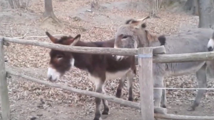 Ce faci când îţi iese în cale un gard? Lecţia unui măgăruş pentru prietenii săi, virală pe Internet (VIDEO)