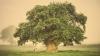 """Un stejar polonez folosit ca adăpost de evrei împotriva naziștilor a fost declarat """"Arborele European al Anului 2017"""""""