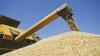 Recolta de grâu, mai bogată în acest an. Condiţiile meteo nu au afectat nici cantitatea şi nici calitatea