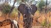 Curios! Elefanţii pot rezista 46 de ore fără să doarmă
