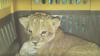 DESCOPERIRE SURPRINZĂTOARE: Un pui de leu, găsit într-o mașină care transporta... papagali (VIDEO)