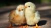 Primii pui de găină şi bobocii au ajuns în pieţele avicole din ţară. Care sunt preţurile