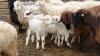 Vreţi carne de miel mai ieftină pentru Paşti? Faceţi rezerve din timp