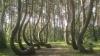 """MISTERUL """"pădurii îndoite"""". De ce au crescut copacii cu o formă aşa ciudată"""