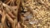 STUDIU: Consumul de soia, asociat cu șanse crescute de supraviețuire în unele cazuri de cancer la sân