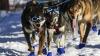 """Alaska: A început cursa de sănii trase de câini, """"Iditarod"""""""