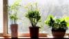 Cinci plante de interior magice care atrag dragostea, bucuria și prosperitatea