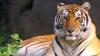 DESCOPERIRE SURPRINZĂTOARE: O zonă a Thailandei adăpostește o populație de tigri dintr-o specie rară