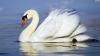 VIRAL! O lebădă curăţă un lac din regiunea rusă Kazan