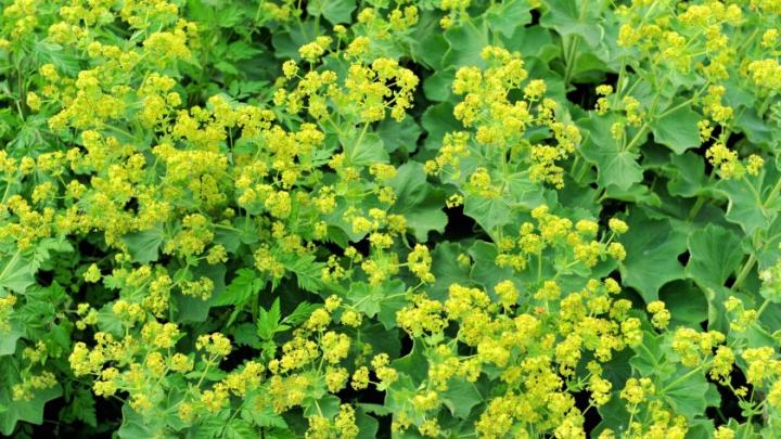 Planta miraculoasă care vindecă mai multe afecţiuni ale femeilor. Poate preveni cancerul la sân