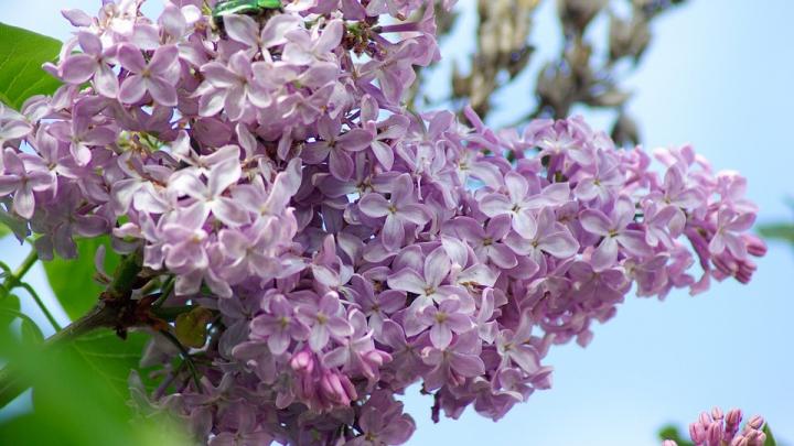 LILIACUL, floarea primăverii. Remediu naturist care vindecă o mulţime de boli