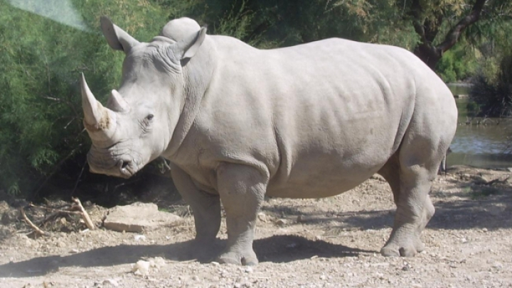 Un rinocer alb a fost ucis de presupuși braconieri la o grădină zoologică din Franța