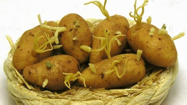 Bine de știut! Cartofii încolțiți conțin o substanță otrăvitoare