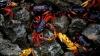 PRIVELIȘTE IMPRESIONANTĂ! Milioane de crabi AU INVADAT Golful Porcilor din Cuba (FOTO/VIDEO)