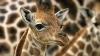 NO COMMENT: Un clip cu nașterea unui pui de girafă Rothschild, VIRAL PE INTERNET (VIDEO 18+)