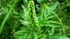 Cea mai alergenică plantă, pusă pe lista neagră. Ce amenzi riscă cei care o vor erbicida