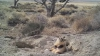 ŞOCANT! Ce îngropa un bursuc în pământ a uimit pe mai mulţi cercetători(VIDEO)