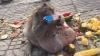 UIMITOR! Cea mai grasă maimuță din lume a fost trimisă în cantonament ca să slăbească