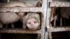 Moldovenii ignoră restricţiile impuse de ANSA privind importul de carne din Ucraina