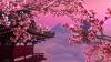 Japonezii se bucură de Sakura! Cât va dura fenomenul