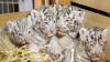 La o grădină zoologică din Austria au venit pe lume patru tigrișori albi