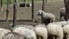 Cu stâna de oi lângă case. Localitatea în care fiecare a cincea crescătorie activează ILEGAL