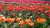 Priveliște tristă. Pe timp de carantină, florile de primăvară se usucă în sere şi pe câmpuri