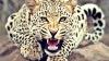 PANICĂ ŞI GROAZĂ! Un leopard care se plimba liber prin localitate, a rănit un copil și un pădurar