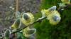 TRADIŢII ŞI OBICEIURI DE FLORII: Ce semnifică salcia sfinţită de FLORII