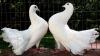 Expoziţie INEDITĂ de porumbei şi alte păsări exotice la Străşeni
