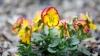 Plantează flori anume în această zi. Gospodina din satul Costeşti care respectă tradiţiile de Florii