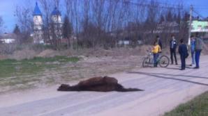 CRUZIME FĂRĂ MARGINI în raionul Hânceşti! Un cal, abandonat şi lăsat să moară de foame de stăpânul său (VIDEO)