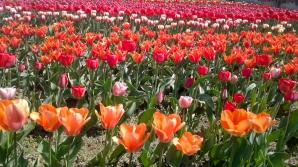 PARADISUL LALELELOR DE LA BARDAR! Cresc zeci de specii cu o varietate impresionantă de forme și culori (FOTO)