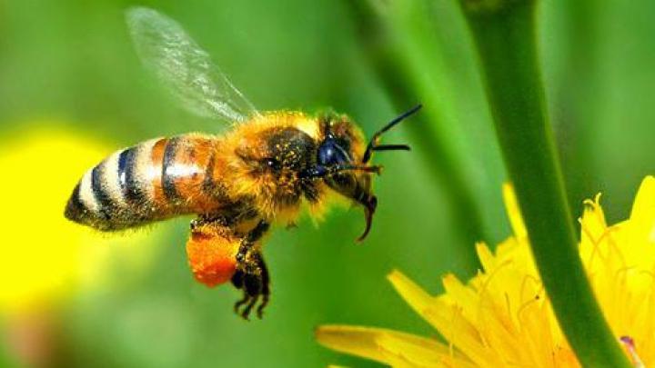 DESCOPERIRE ULUITOARE: Albinele pot rezolva probleme simple de matematică