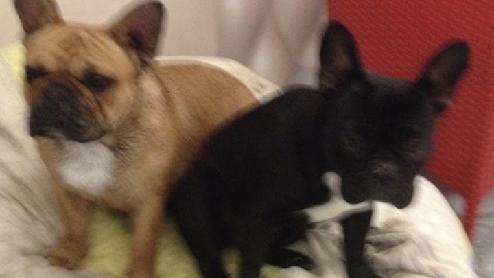Strigăt de ajutor! S-au pierdut două căţeluşe! Stăpânii oferă recompensă (FOTO)