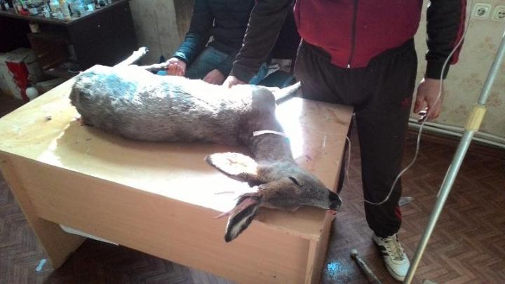 Un căprior, sfâşiat de un maidanez la Ştefan Vodă. Veterinarul nu l-a mai putut salva (FOTO)