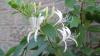 Floarea MINUNE pe care cei mai mulţi dintre moldoveni o au în grădină. Ce maladii vindecă