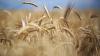 Veste bună pentru agricultori. Potrivit Serviciului Hidrometeorologic de Stat, în acest an, recolta de grâu va creşte