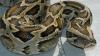 Un piton lung de PESTE TREI METRI a fost găsit la tomberon, în ograda unui bloc de locuinţe