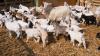 Patru capre şi un ied au fost sfâşiate de lupi, în satul Tricolici, din raionul Căuşeni