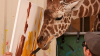 Deliciul vizitatorilor! O girafă pictează într-o rezervație pentru lei din Nevada (VIDEO)