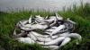 NINGE cu pești. Pe malul mării Ohotsk au eșuat zeci de tone de scrumbie, din cauza refluxului