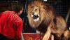 PANICĂ şi GROAZĂ într-un circ din Franţa. Momentul în care dresorul este ATACAT de un leu (IMAGINI ŞOCANTE)