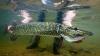 Metodă neobișnuită de purificare a apei: 800 de mii de pești răpitori au fost aduși într-un lac polonez pentru a curăța apa
